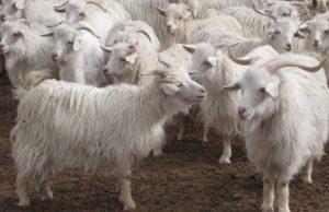 Goat Hide Cashmere fur