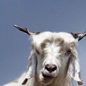 Goats Skin