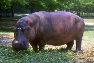 Common Hippo