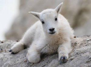 Kid Baby Goat
