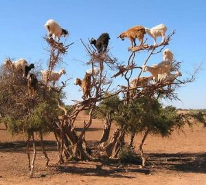 Cloven Hoofed Goat In Trees