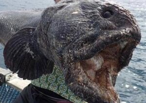 Wolf Fish Open Mouth